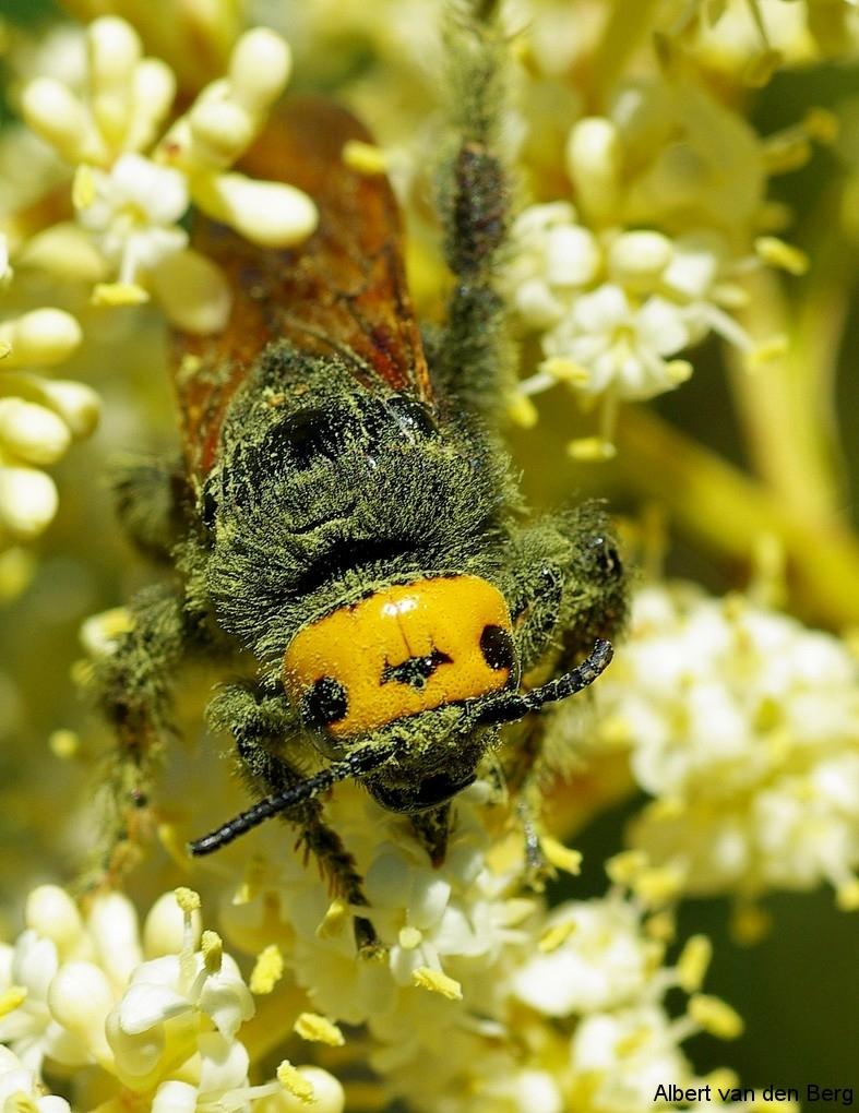 Megascolia maculata 01