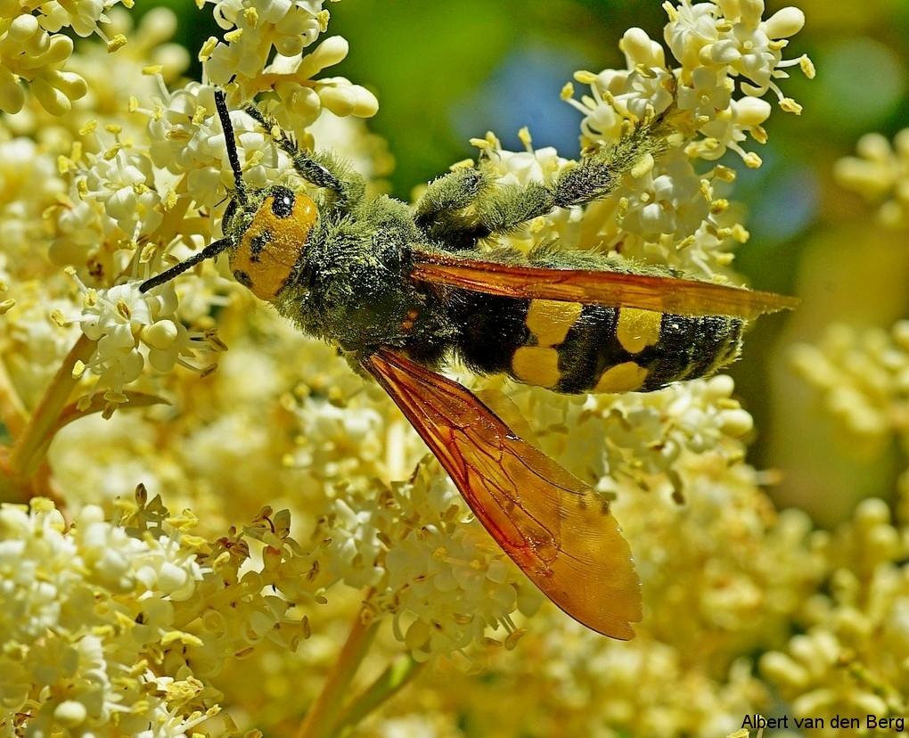 Megascolia maculata 02