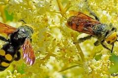Megascolia maculata 03