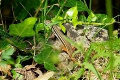Algerijnse zandloper (Psammodromus algirus)