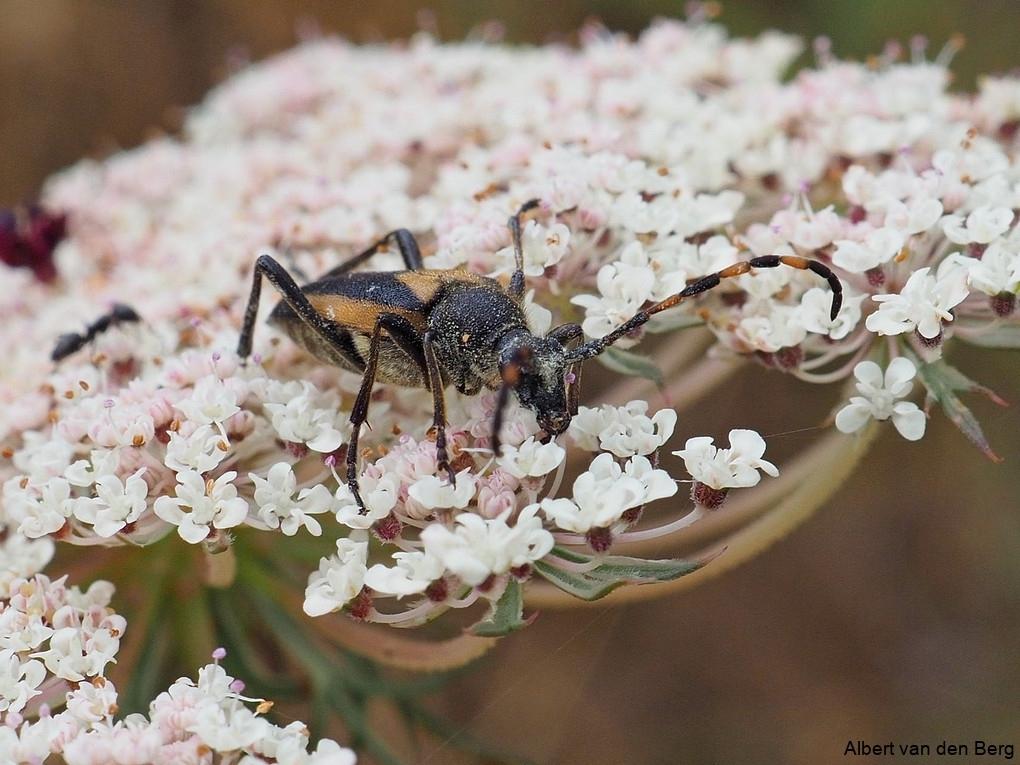 Stictoleptura Stragulata een Smalboktor soort