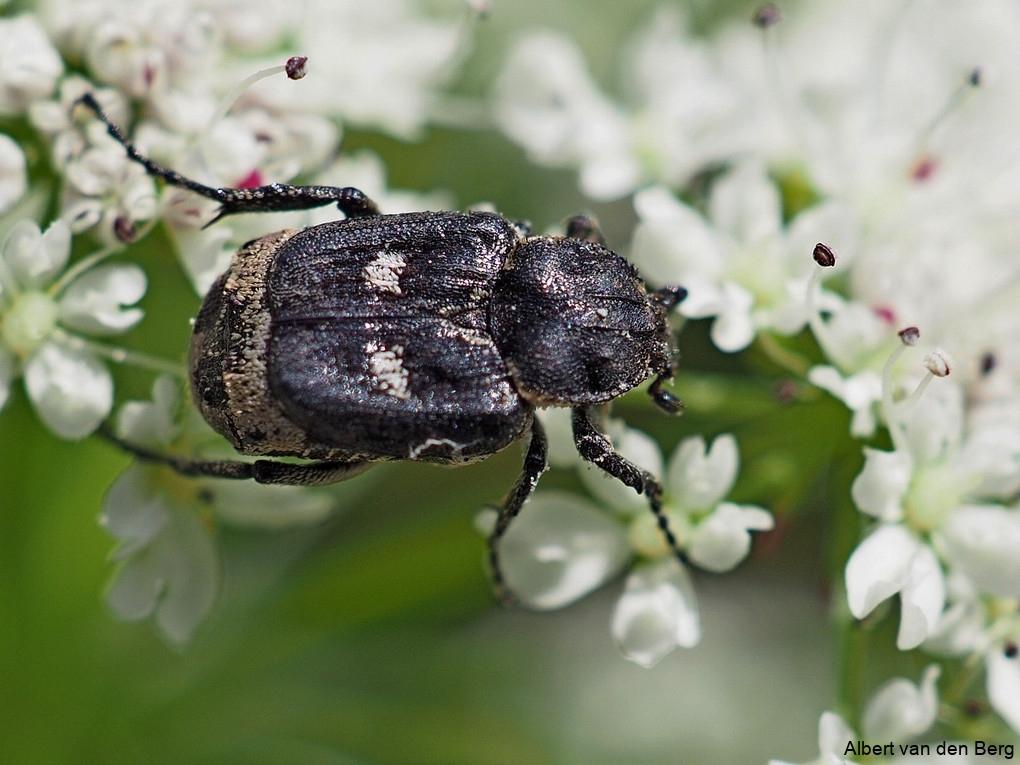 Valgus hemipterus (mestkever soort)