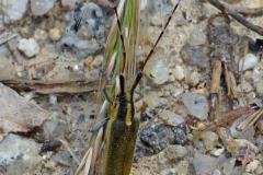 Agapanthia Dahli een Boktor soort