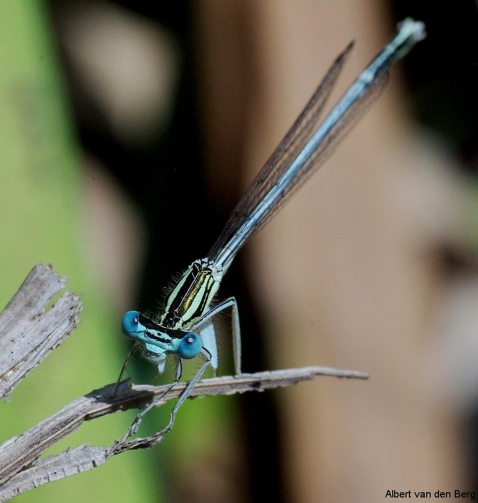 Blauwe breedscheen juffer mannetje 01
