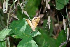 Argus vlinder