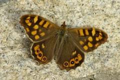 Argus vlinder003.jpg
