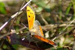 Kleine Vuurvlinder vrouwtje