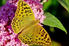 Parlemoer vlinder 01