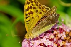 Parlemoer vlinder 02