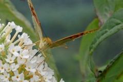 Parlemoer vlinder 04
